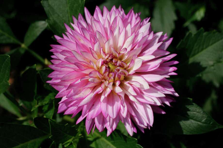 Dahlia XXL 'Veracruz' from Home Depot's Viva program Photo: John Everett / John Everett