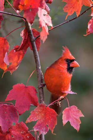 Resolve for the New Year to become a more active birder.  Study a common bird, like the northern cardinal, all year to learn its life history.  Photo Credit:  Kathy Adams Clark.  Restricted use. Photo: Kathy Adams Clark / Kathy Adams Clark/KAC Productions