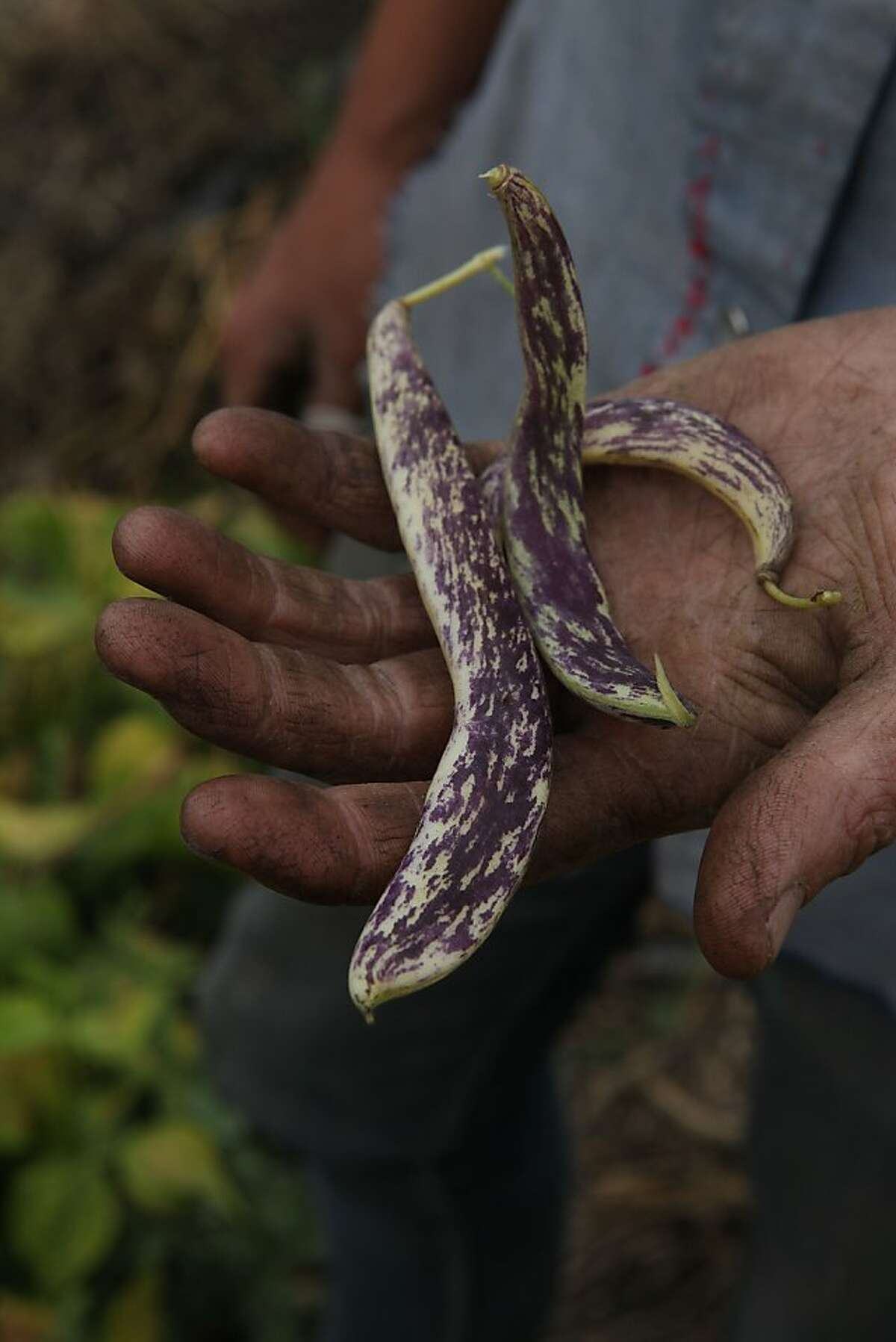 Kristen Leach shows asian string beans which she grows at Sunol Agricultural Park in Sunol, Calif., on Wednesday, October 31, 2012. She cultivates heritage crops for korean restaurant Namu Gaji.