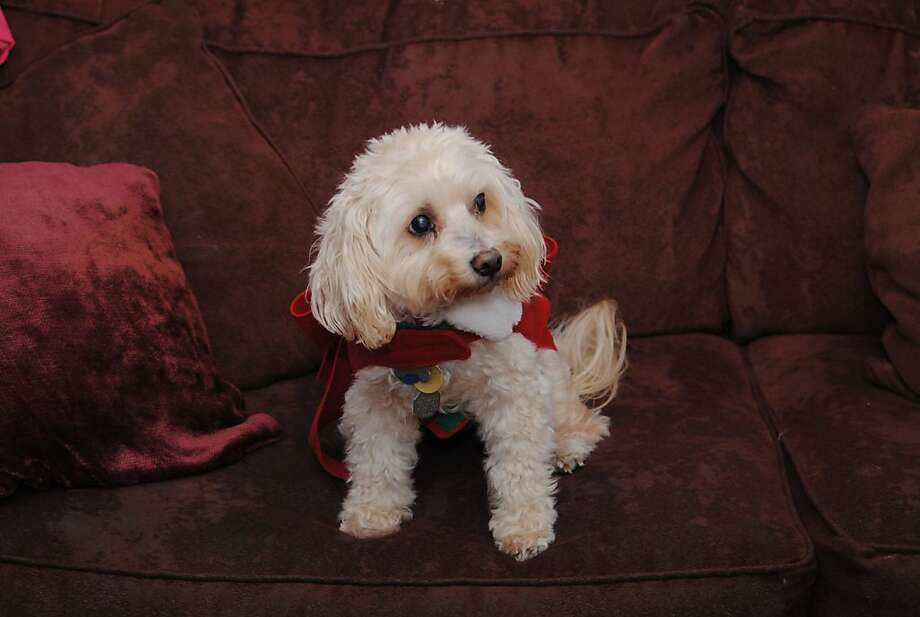 After emergency bladder surgery, Penny is a playful, healthy 14-year-old Bichon who adores her family. Photo:  Amelie Benzino