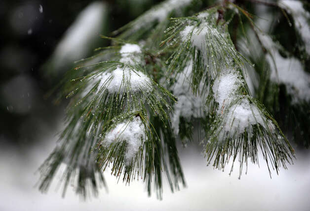 Snow sticks to pine tree branches at Beardsley Park in Bridgeport, Conn. on Saturday December 29, 2012. Photo: Christian Abraham / Connecticut Post