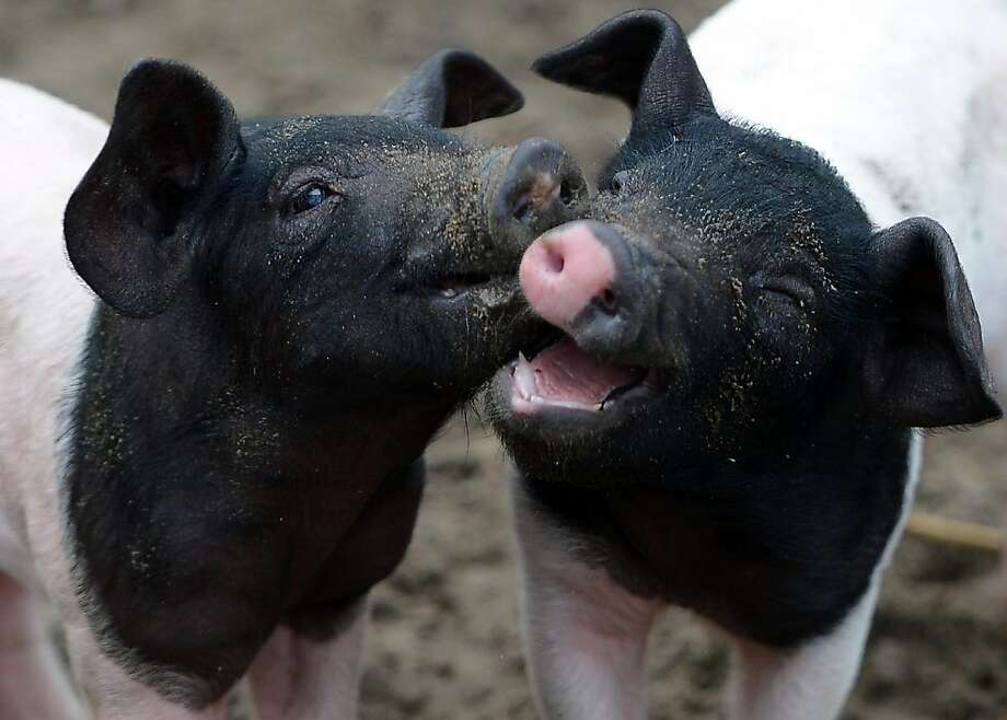 Farrows (Swabian-Halle pigs) are pictured at the zoo in Berlin, on December 29, 2012. The farrows were born on December 2, 2012. Photo: Britta Pedersen, AFP/Getty Images