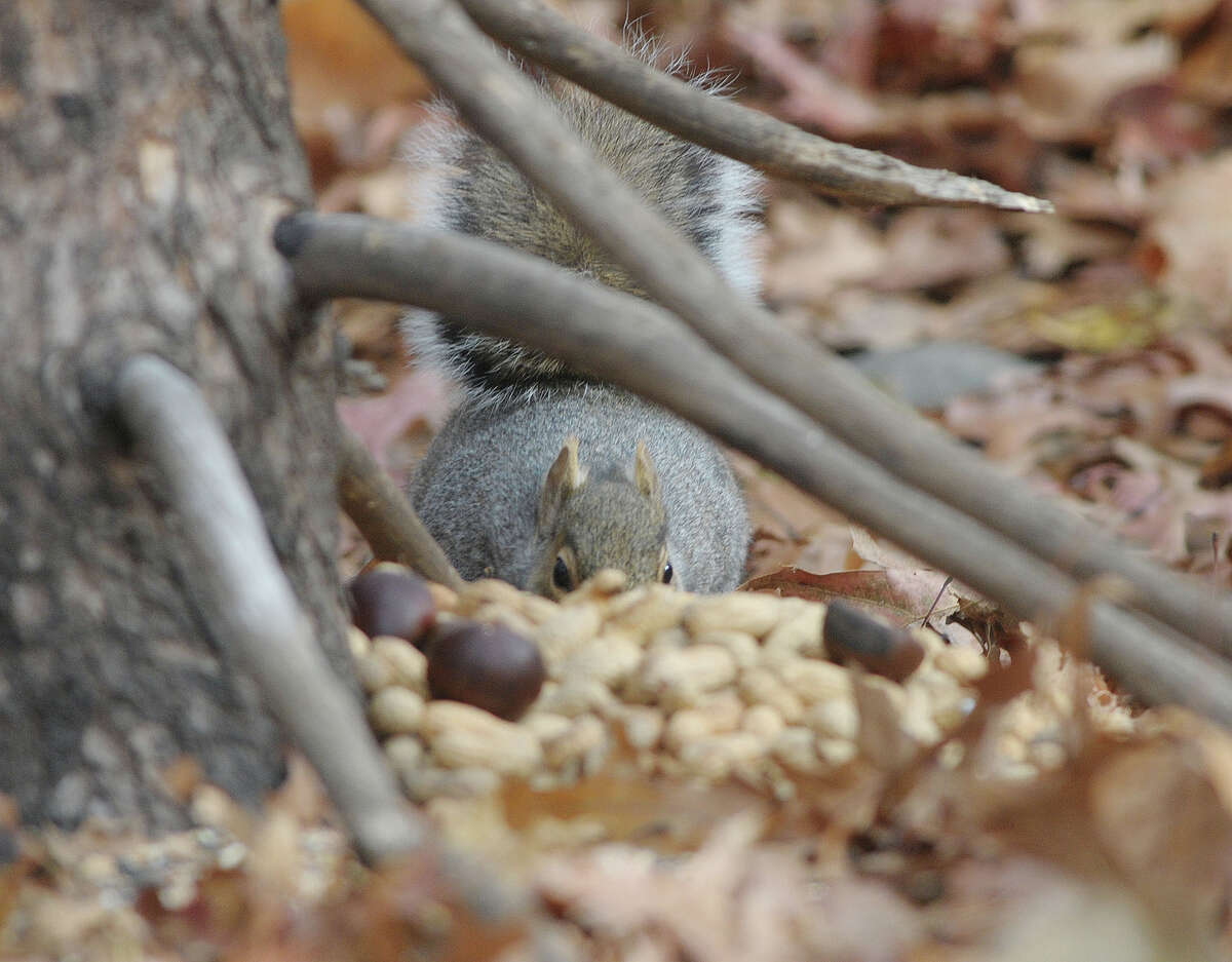 A squirrel eats some nuts that Marilyn Dagostino had put out for the animals in a section of Central Park on Tuesday, Nov. 20, 2012 in Schenectady, NY. (Paul Buckowski / Times Union)