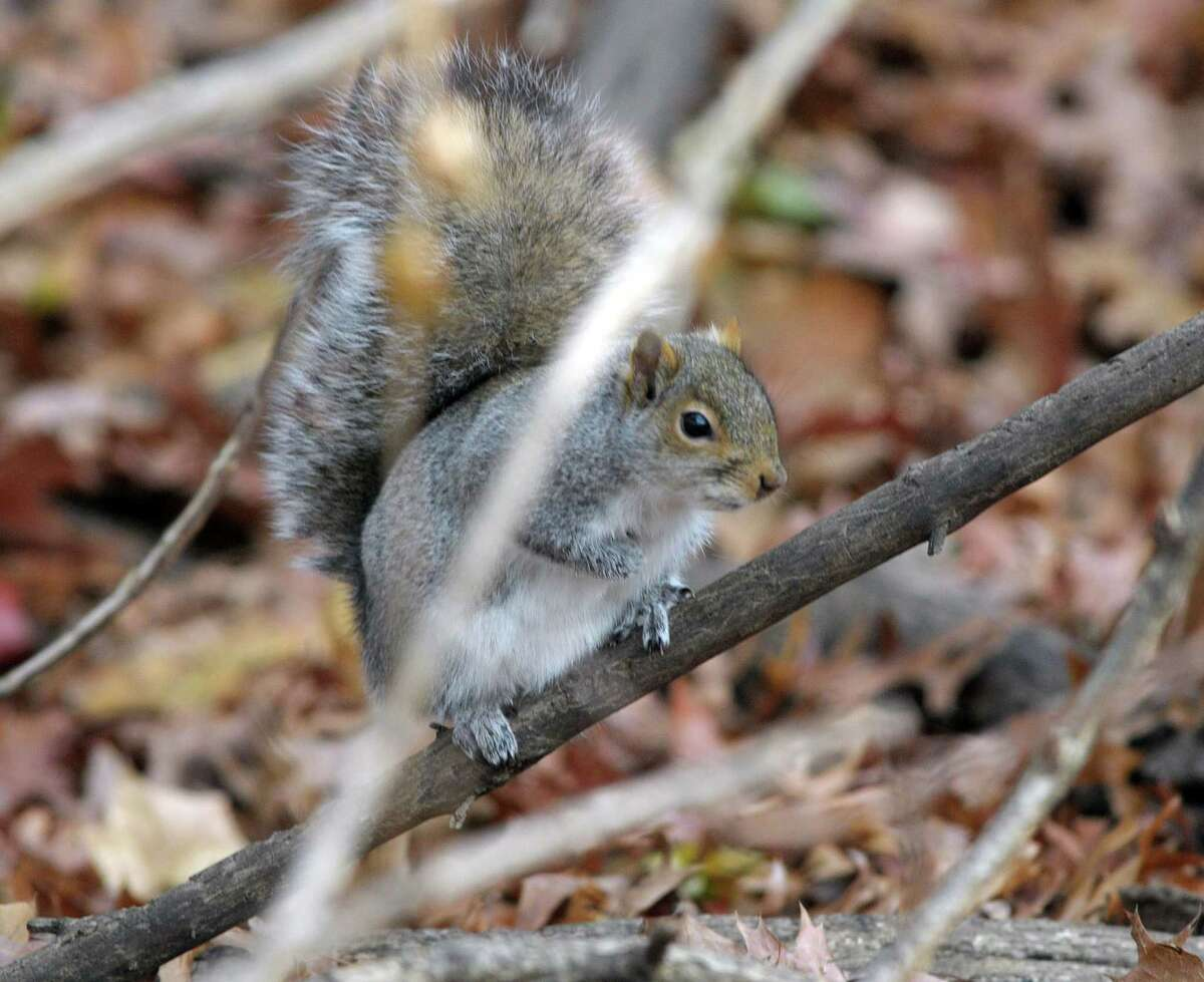A squirrel makes its way towards some nuts that Marilyn Dagostino had put out for the animals in a section of Central Park on Tuesday, Nov. 20, 2012 in Schenectady, NY. (Paul Buckowski / Times Union)