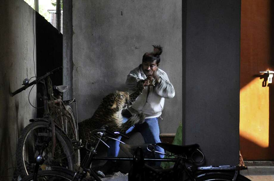 In this Jan. 7, 2012 file photo, a wild full grown leopard scalps the head of a man as it attacks after wandering into a residential neighborhood in Gauhati, in the northern state of Assam, India. Later the leopard was tranquilized by wildlife official and taken to the state zoological park. The leopard ventured into a crowded area and injured four people before it was captured and caged. Photo: Manas Paran, ASSOCIATED PRESS / A2012