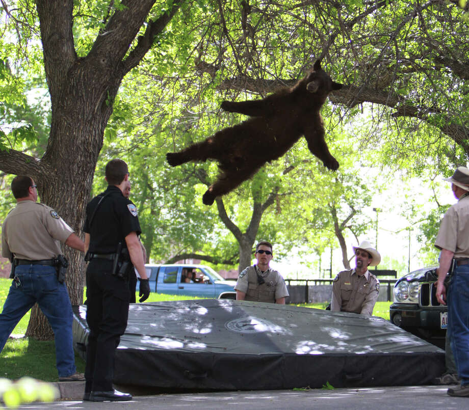 In this April 26, 2012 file photo provided by the CU Independent, shows a bear that wandered into the University of Colorado Boulder, Colo., dorm complex Williams Village falling from a tree after being tranquilized by Colorado wildlife officials. Colorado University police spokesman Ryan Huff said the bear was likely 1-3 years old and weighed somewhere between 150-200 pounds. Photo: Andy Duann, ASSOCIATED PRESS / AP2012