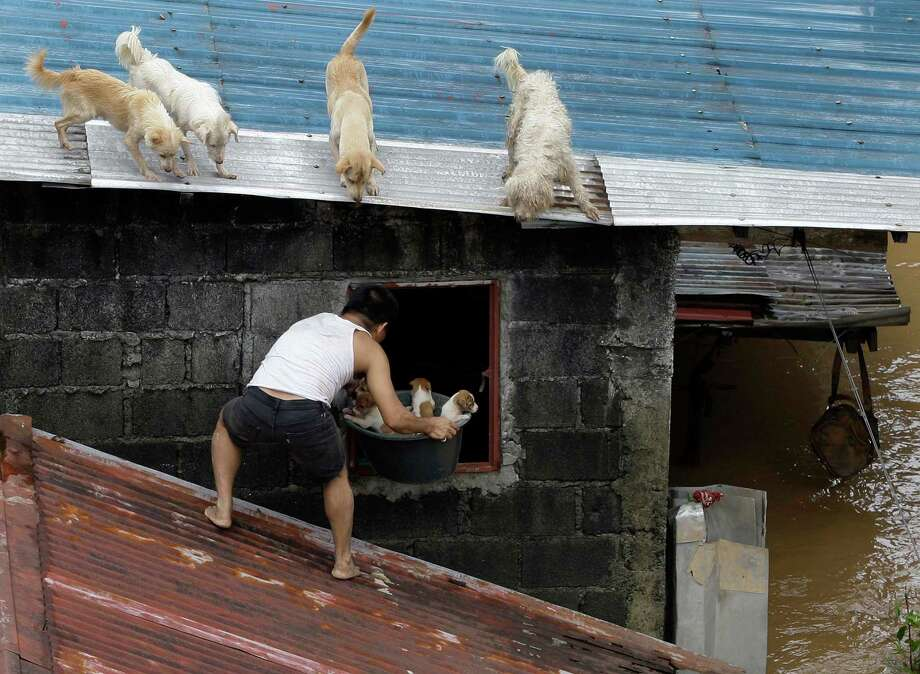 In this Aug. 8, 2012 file photo, a man carries puppies back inside their house as other dogs stay on the roof at a flooded area in Marikina City, east of Manila, Philippines. Widespread flooding that killed at least 11 people, battered a million others and paralyzed the Philippine capital began to ease as cleanup and rescue efforts focused on a large number of distressed residents, some still marooned on their roofs. Photo: Aaron Favila, ASSOCIATED PRESS / A20122012
