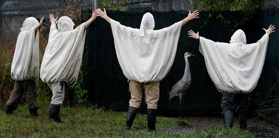 In this Nov. 27, 2012 file photo, aviculturists at the Audubon Species Survival Center in New Orleans, wearing crane costumes, round up four endangered Mississippi sandhill cranes and transport them from their current habitat, to the Mississippi Sandhill Crane National Wildlife Refuge in Gautier, Miss. Photo: Gerald Herbert, ASSOCIATED PRESS / The Associated Press2012
