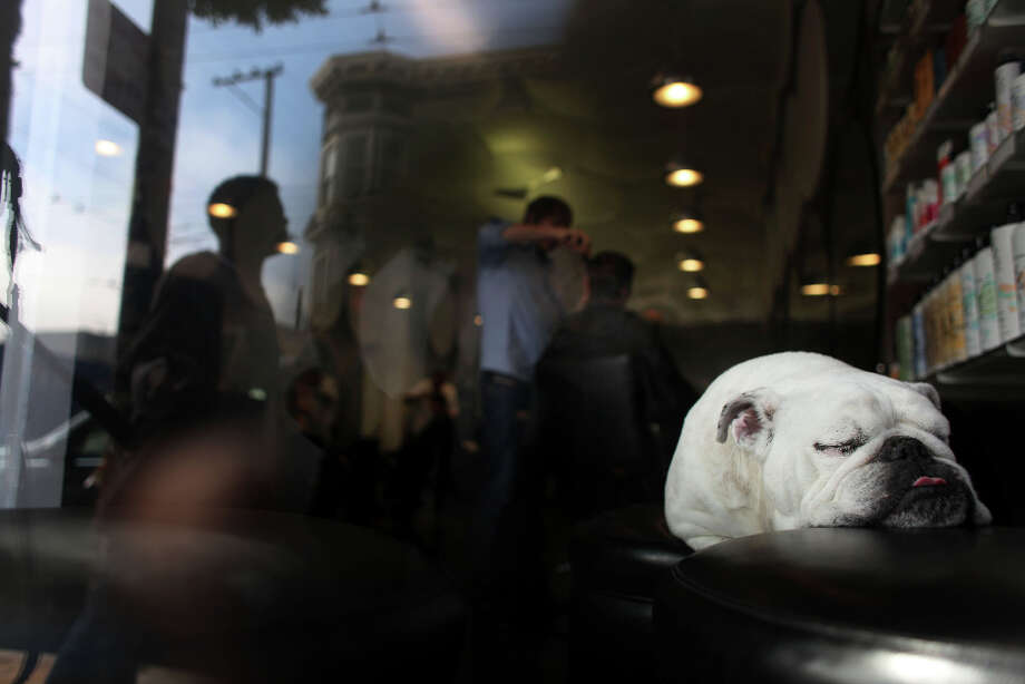 Tired from hours of waiting in the front door of his master's salon, Jake, an 11-year-old English Bulldog, takes a nap near the window in 2011 - Jake died this past March. Photo: Mike Kepka, The Chronicle / SFC
