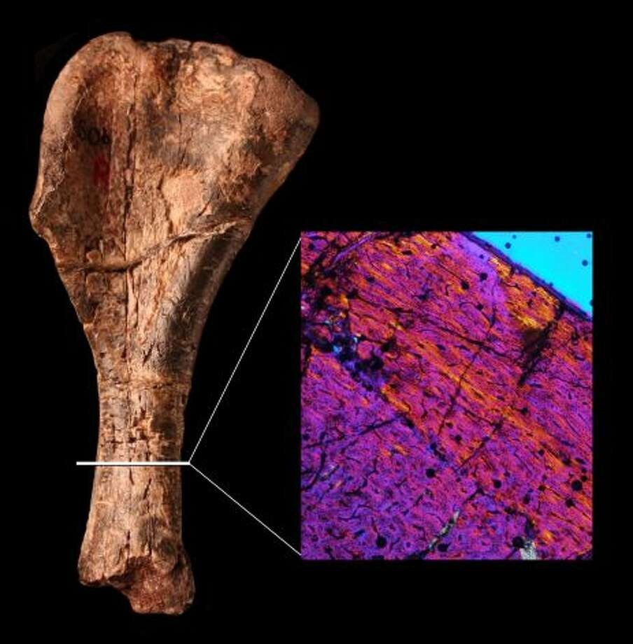 The humerus, or upper arm bone, of Nyasasaurus parringtoni is shown next to a cross section of the bone. The many colors indicate that the bone fibers are disorganized, much like those of early dinosaurs. It lived during the Middle Triassic period, approximately 243 million years ago and around 10 million years before other known dinosaurs.(©Natural History Museum / SL)