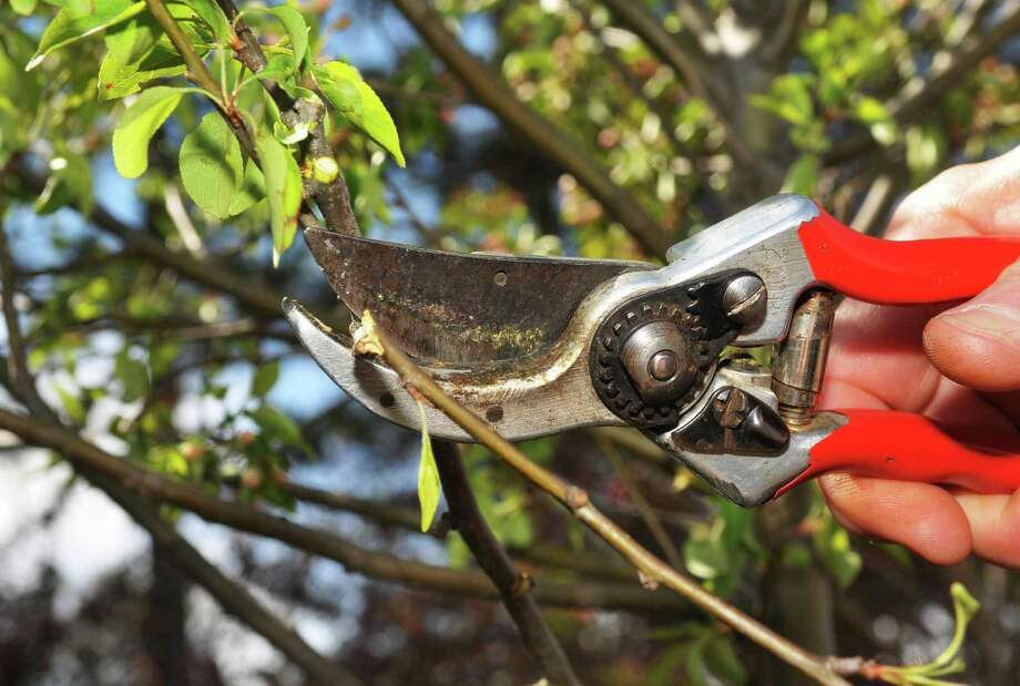 Fruit trees and other trees should be pruned in winter. Photo: Albany Times Union / ONLINE_YES