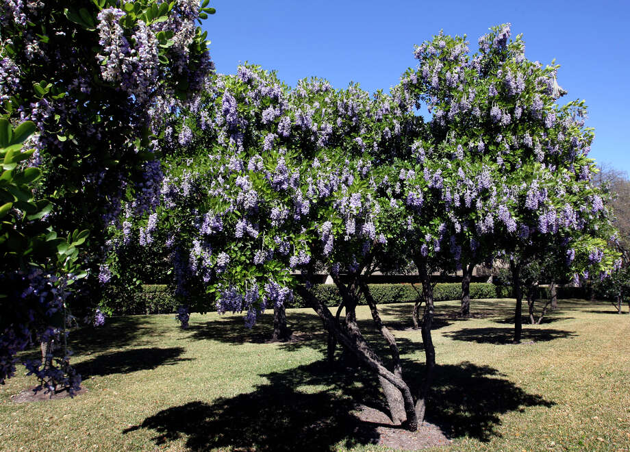 Mountain laurel is a shrub that can be used as a hedge. Its blossoms scent the air in spring. Photo: File Photo / SAN ANTONIO EXPRESS-NEWS