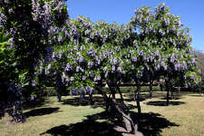 Mountain laurel is a shrub that can be used as a hedge. Its blossoms scent the air in spring.
