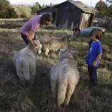Ellen Cavalli (left), Benny Heath (middle), 5 years old, and Scott Heath (background) on the farm with their sheep in Sebastopol, Calif., on Wednesday, November 28, 2012.   They make hard apple cider and are called Tilted Shed Ciderworks, named  after the structure in background.