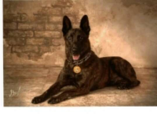 Marco, a Dutch Shepherd with the K-9 Beaumont Police Department, died Thursday morning. Photo: Beaumont Police Department