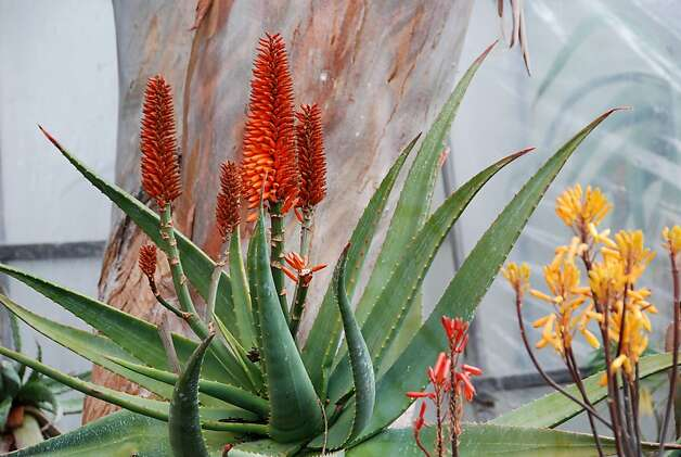 Aloe ferox, which can grow to 10 feet, is among the many choices of these drought-tolerant plants. Photo: Annie's Annuals And Perennials