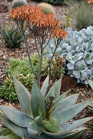 Aloe striata, commonly known as coral aloe, has sturdy bluish-green leaves. Photo: Annie's Annuals And Perennials