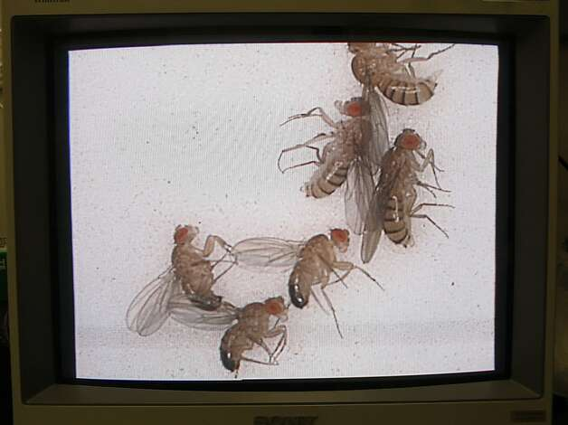Anesthesized fruit flies seen through a microscope at NASA Ames Research Center in Mountain View, California on Friday,  December 7, 2012.  They are sending fruit flies into space next year to study how environments with little gravity affect the human cardiovascular system. Photo: Liz Hafalia, The Chronicle