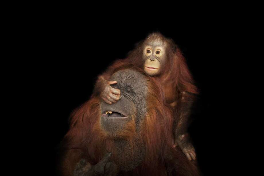 Bornean orangutan Aurora plays with her surrogate mom, Cheyenne, at the Houston Zoo. Photo: Joel Sartore, Courtesy / © 2012 National Geographic