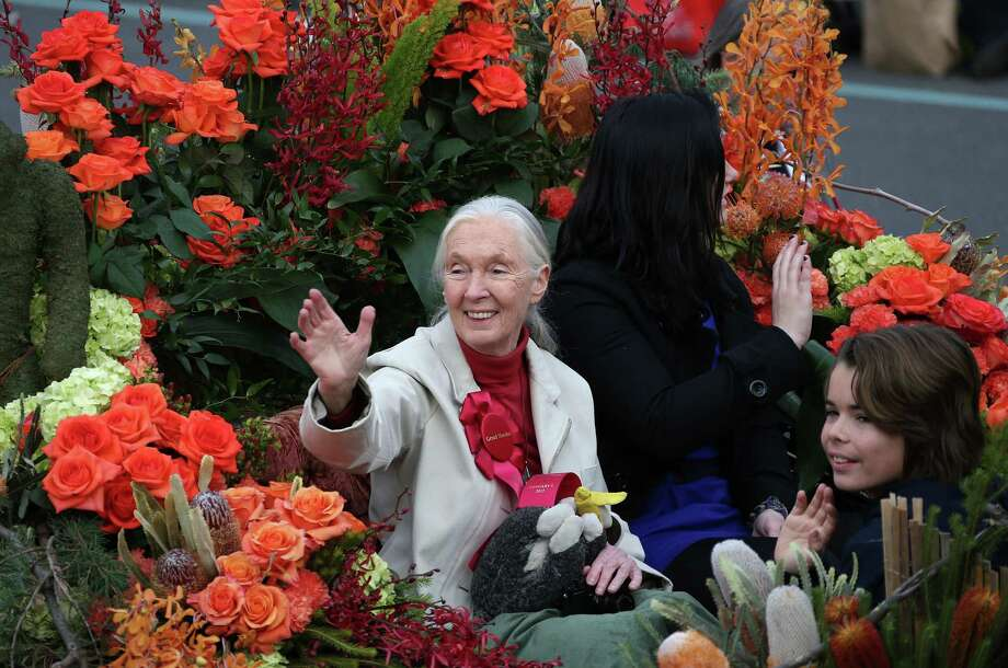 PASADENA, CA - JANUARY 01: Jane Goodall, Grand Marshal, of the 124th Rose Parade Presented By Honda waves on the parade route on January 1, 2013 in Pasadena, California. Photo: Frederick M. Brown, Getty Images / 2013 Getty Images