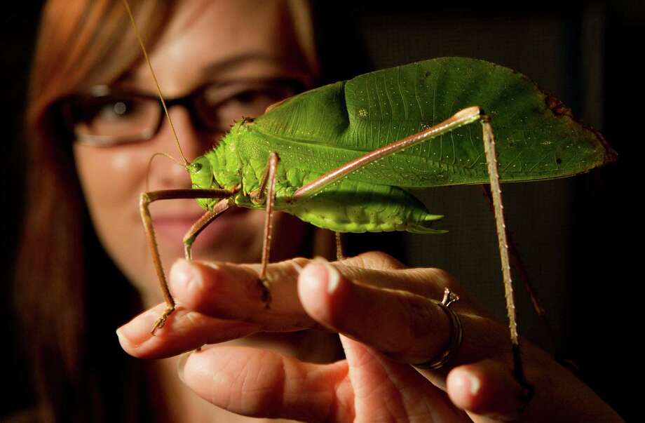 "Erin Mills, entomologist for the Houston Museum of Natural Science, poses for a photo with ""Barry"" a giant long-legged katydid from Malaysia Tuesday, Dec. 18, 2012, in Houston. Photo: Brett Coomer, Houston Chronicle / © 2012 Houston Chronicle"