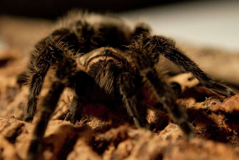 A Costa Rican curly hair tarantula  Photo: Brett Coomer, Houston Chronicle / © 2012 Houston Chronicle