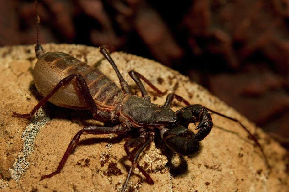 A whipscorpion from the southwestern United States Photo: Brett Coomer, Houston Chronicle / © 2012 Houston Chronicle