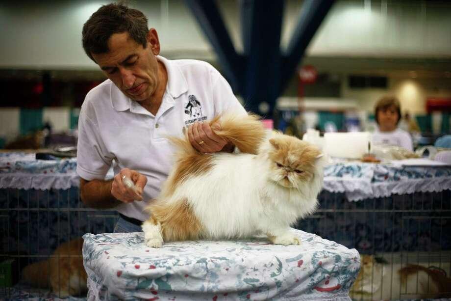 Warren Joubert primps one of his Persian cats. Photo: Michael Paulsen, Houston Chronicle / Houston Chronicle