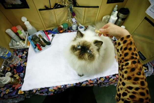 Laura Boot primps her Persian Himalayan Cat named Jessie during the Houston Cat Club 58th Annual Charity Cat Show at the George R. Brown Convention Center Saturday, Jan. 9, 2010. Photo: Michael Paulsen, Houston Chronicle / Houston Chronicle
