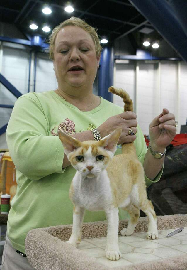 "Michelle Kirby from San Antonio pets her male Devon Rex cat ""Nemo."" Photo: Steve Campbell, Houston Chronicle / Houston Chronicle"