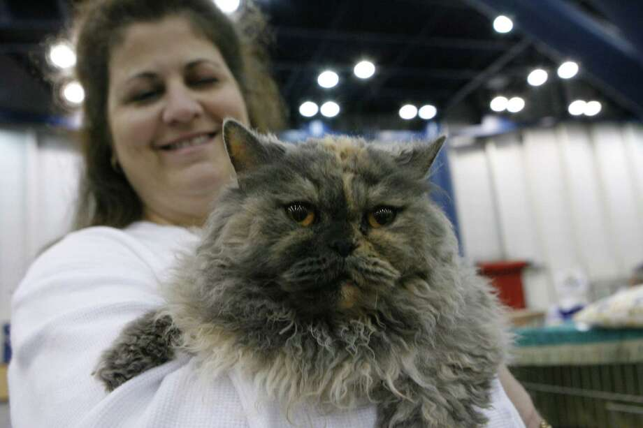 "Cheryl Gray of Havana, Ark. holds her Selkirk Rex named ""Zoe."" Photo: Steve Campbell, Houston Chronicle / Houston Chronicle"