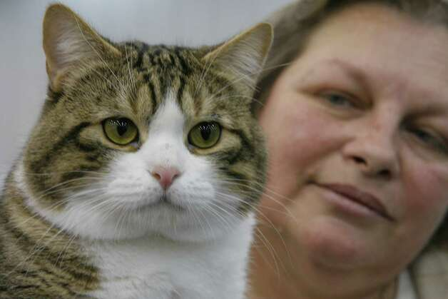 "Sandra Defoe of LaPorte holds her Manx cat ""Caitria's Duncan O'Toole"" at The Houston Cat Club's 56th Annual Charity Cat Show in 2008. Photo: Steve Campbell, Houston Chronicle / Houston Chronicle"
