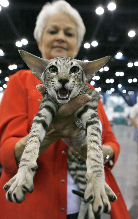 """Broadway Joe"", a 6 month old Oriental Short Hair cat gives his opinion as he is held by his owner, Gail Bercher of Needville. Photo: Steve Campbell, Houston Chronicle / Houston Chronicle"