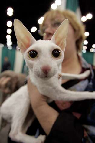 Deborah Dickey of Houston takes Ardoin Sugar Moon, a Cornish Rex cat, back to the staging area after the cat was judged at the Houston Cat Club 56th Annual Charity Cat Show on Jan. 5, 2008.  Photo: Johnny Hanson, Houston Chronicle / Houston Chronicle