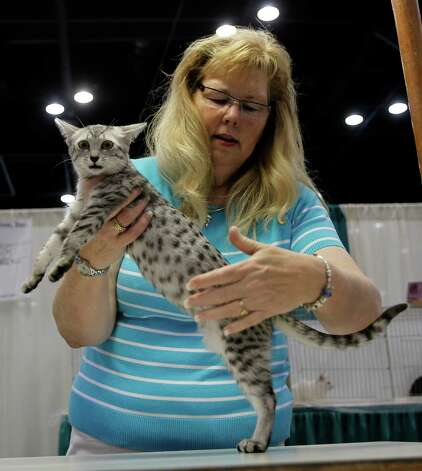 Vicki Nye judges an Egyptian Mau cat during the 59th Annual Charity Cat Show at the George R. Brown Convention Center Saturday, Aug. 27, 2011. Photo: James Nielsen, Chronicle / © 2011 Houston Chronicle