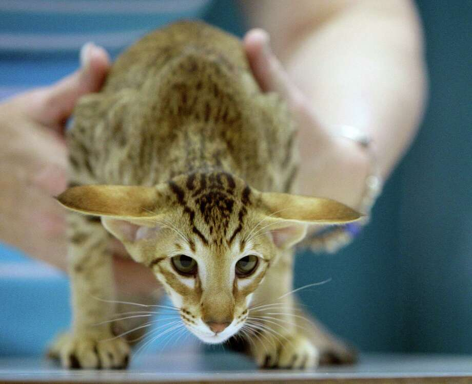 An Oriental Short Hair cat. Photo: James Nielsen, Chronicle / © 2011 Houston Chronicle