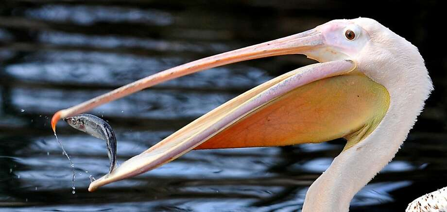 Eating sushi with chopsticks:A pelican plucks a meal in Dresden, Germany.  Photo: Matthias Rietschel, Associated Press