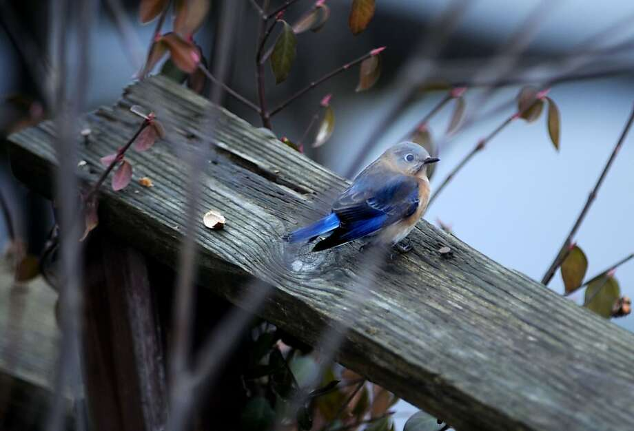 I'm live-tweeting from Owensboro, Ky.: A bluebird sits on a wood rail in Owensboro, Ky., not far from where Daviess County Audubon Society birders were taking their annual bird count. Photo: Gary Emord-Netzley, Associated Press