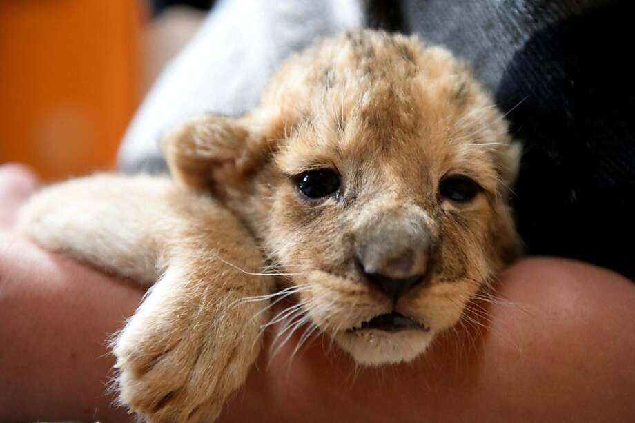What's the use? Sure, they avoided the fiscal cliff, but was there any meaningful debt reduction? No. So disappointing. (Two-week-old lion cub, Gyoengyoes Zoo, Hungary.) Photo: Peter Komka, Associated Press