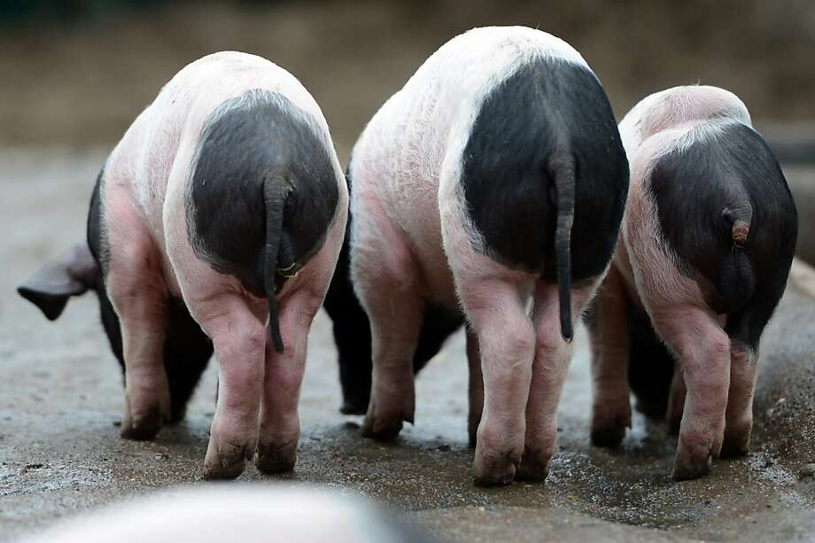 Sorry about your tail. I thought it was a carrot: Three Farrows (Swabian-Halle pigs) - one who's a bit underendowed in the rear-appendage department - root around for morsels on the floor of their Berlin Zoo pen. Photo: Britta Pedersen, AFP/Getty Images