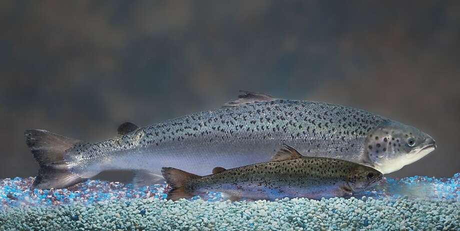 A genetically modified salmon dwarfs a non-genetically modified salmon of the same age. The Food and Drug Administration has opened approval of genetically modified salmon for public comment. Photo: Anonymous, Associated Press