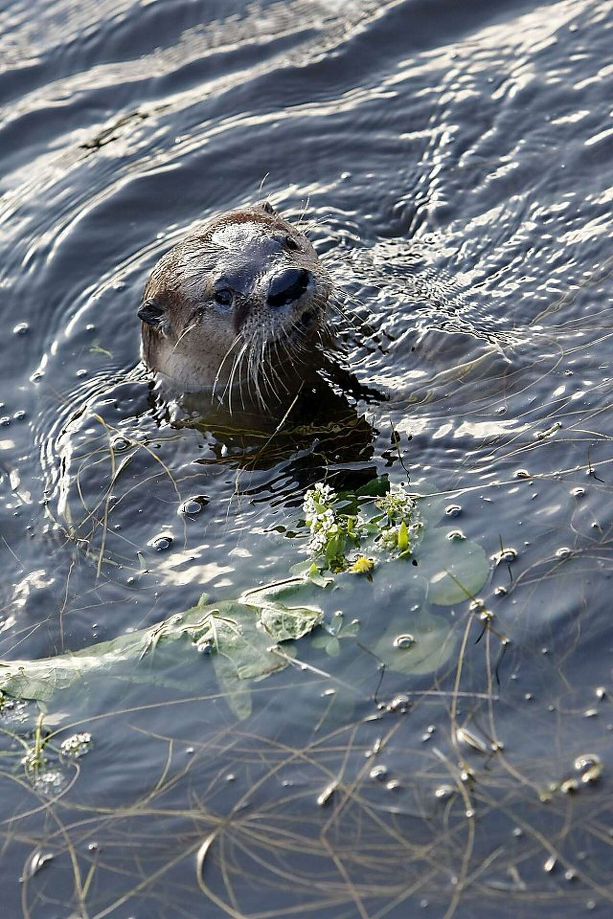 A River Otter named Sutro Sam by local biologists searches for fish to feed on at the Sutro Baths on December 30, 2012 in San Francisco, Calif.