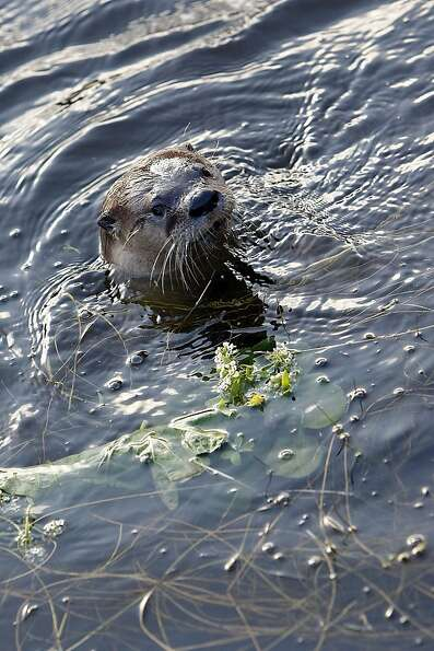 A River Otter named Sutro Sam by local biologists searches for fish to feed on at the Sutro Baths on