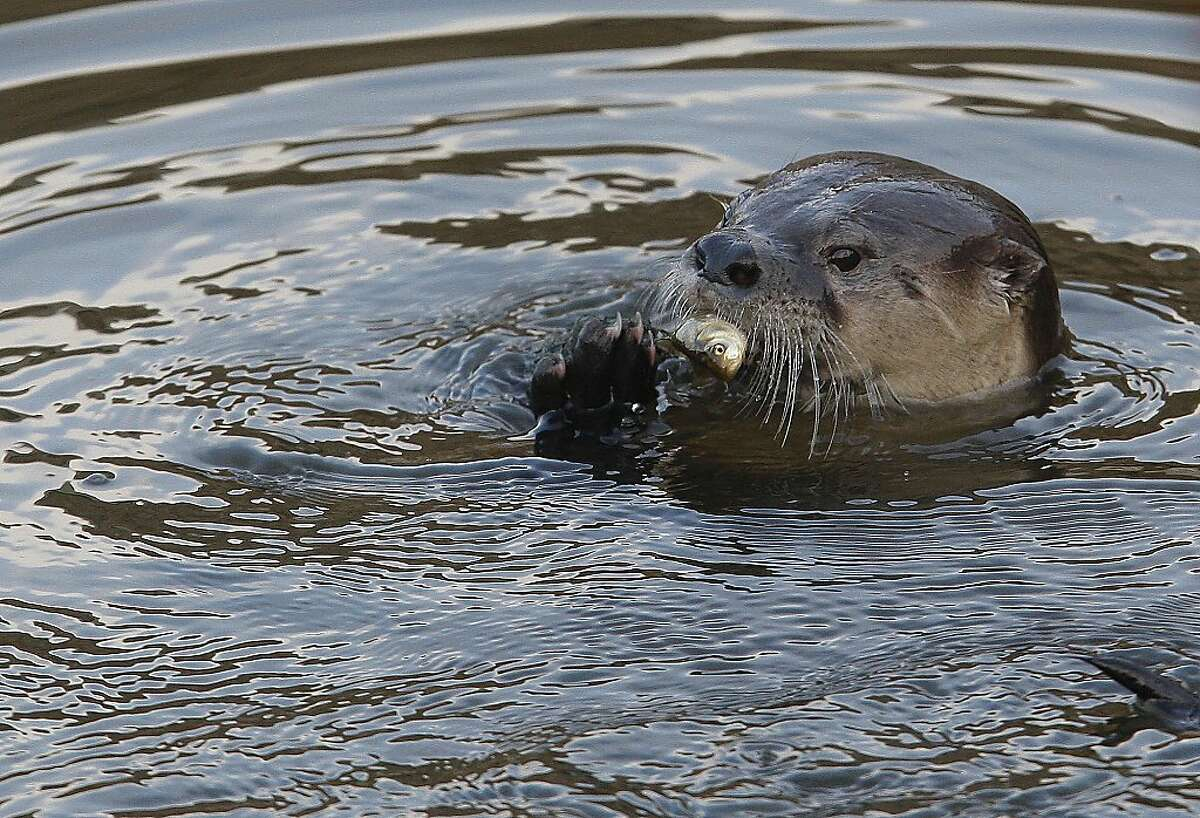 A River Otter named