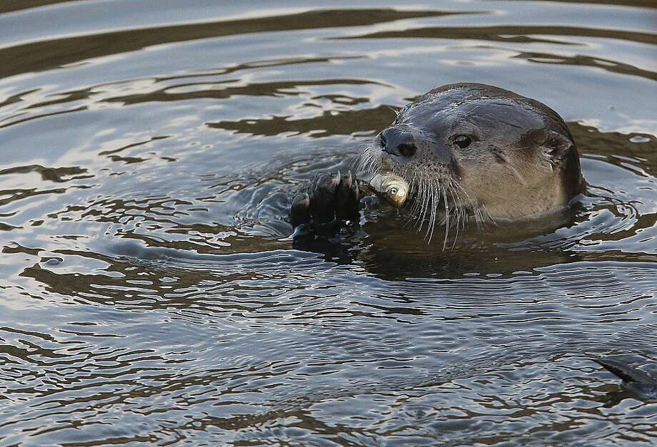 A river otter named Sutro Sam feeds on a fish he caught at the Sutro Baths. Photo: Sean Havey, The Chronicle
