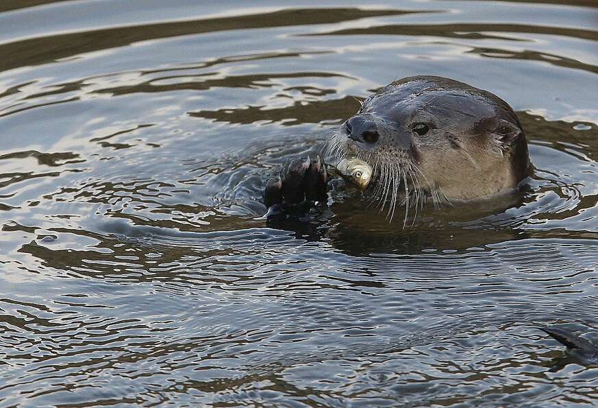 A river otter, named Sutro Sam by local biologists, eats a fish he caught Sunday while swimming at t