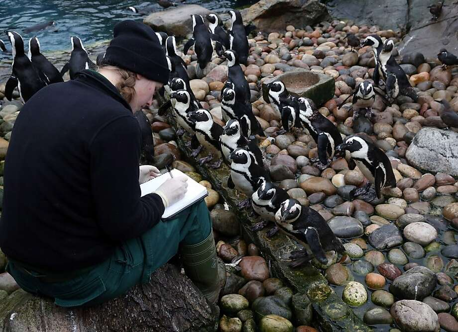 Keeper Pippa Green helps count some of the penguins as part of the annual stock take at Bristol Zoo on January 2, 2013 in Bristol, England. The annual animal 'census' is carried out at the start of each year and includes stocktaking more than 400 species; from tiny insects, fish and birds, to seals, gorillas and monkeys. Photo: Matt Cardy, Getty Images