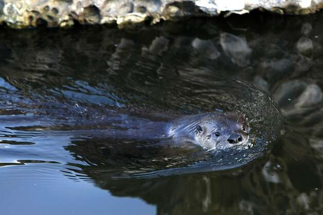 A River Otter named Sutro Sam by local biologists searches for fish to feed on at the Sutro Baths on December 30, 2012 in San Francisco, Calif. Photo: Sean Havey, The Chronicle