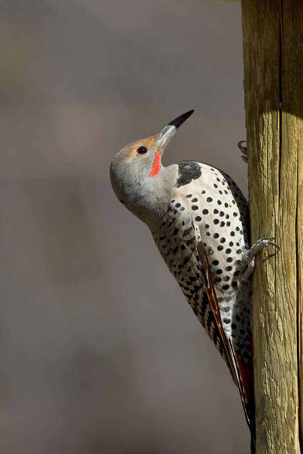 The Northern flicker woodpecker winters in much of South Texas from San Antonio to Houston. Photo: Kathy Adams Clark, KAC Productions / Kathy Adams Clark/KAC Productions