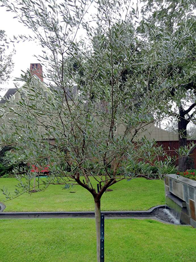 The gray-green foliage of the olive tree makes it an elegant addition to any ornamental garden. As an evergreen tree it can be used to screen unwanted views.